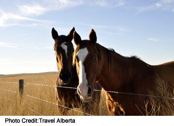 horses hanging out, East of Medicine Hat